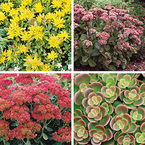 Stonecrop (Sedum species)