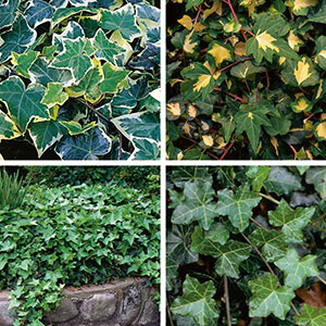 English Ivy (Hedera helix)