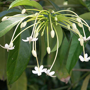 Needle Flower Tree, Tree Jasmine 'Belize' (Posoqueria latifolia)