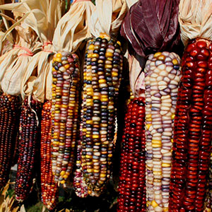 Ornamental Corn (Zea mays)