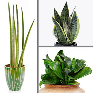 Mother-in-law's Tongue, Snake Plant Indoors (Sansevieria species)