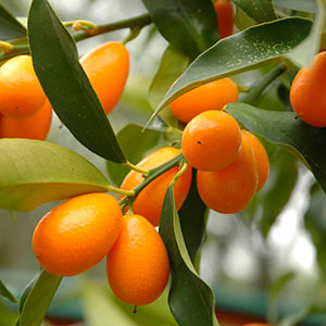 Kumquat (Fortunella species)