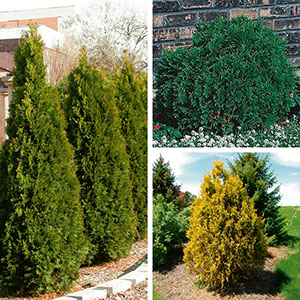 Arborvitae, Cedar (Thuja species)