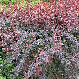 Red Japanese Barberry 'Concorde' (Berberis thunbergii)
