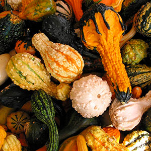 Gourds Small Warted Mix (Cucurbita pepo)