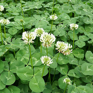 White Clover, Dutch Clover (Trifolium repens)