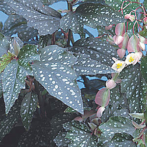 Angel Wing Begonia (Begonia coccinea)