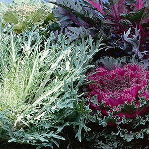 Flowering Cabbage/Kale (Brassica oleracea)