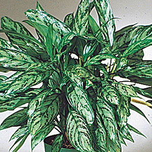 Chinese Evergreen (Aglaonema species)