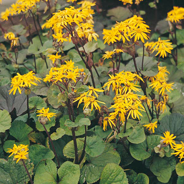 Grow Your Best Fall Garden Vegetables: Bigleaf Ligularia, Summer Ragwort, Leopard Plant
