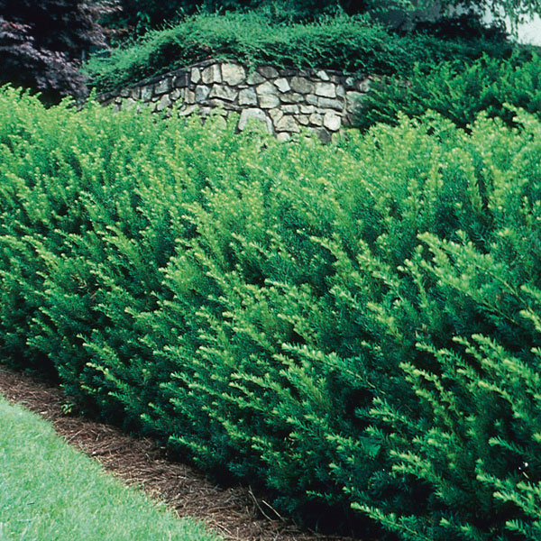 Spreading yew taxus x media my garden life for Garden yew trees