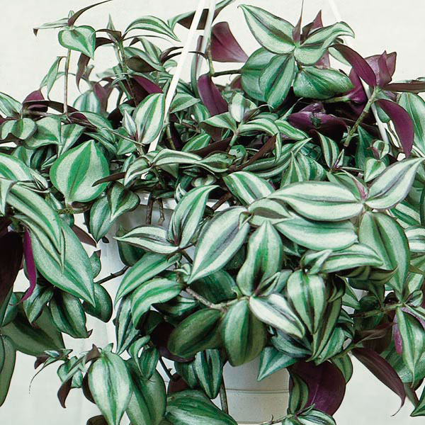 Purple wandering jew indoors 39 purpusii 39 zebrina pendula my garden life - Wandering jew care ...