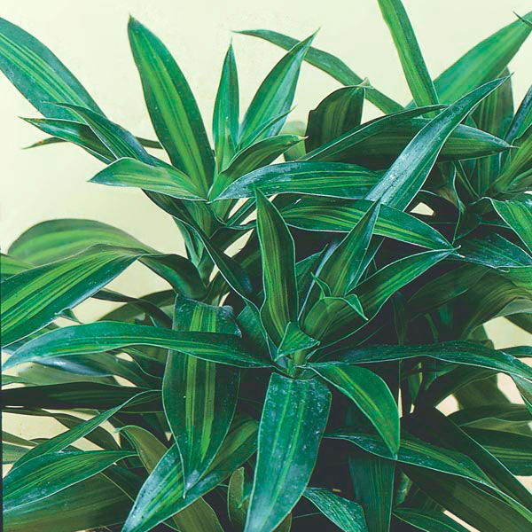 Song Of India Malaysian Dracaena Jamaica
