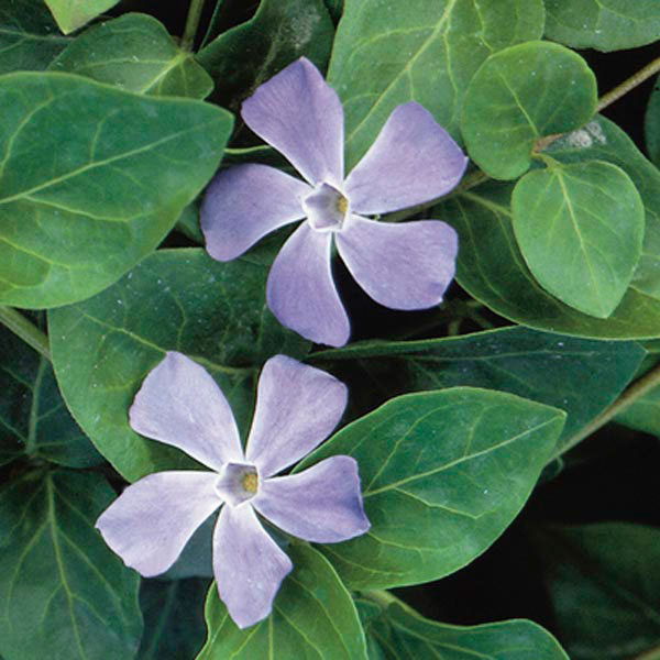 Vinca vine big leaf periwikle vinca major my garden life for Vinca major