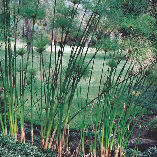 egyptian paper reed papyrus cyperus papyrus my garden. Black Bedroom Furniture Sets. Home Design Ideas