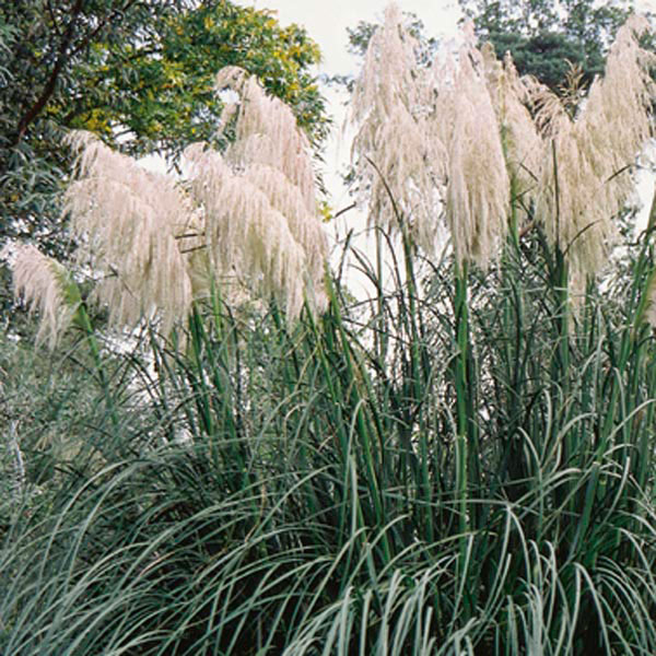 Hardy pampas grass cortaderia selloana my garden life for Hardy ornamental grasses