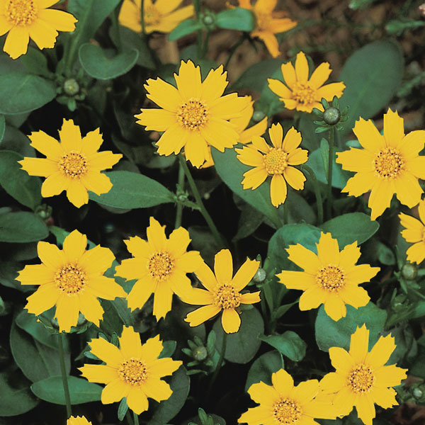 Grow Your Best Fall Garden Vegetables: Coreopsis 'Nana' (Coreopsis Auriculata)