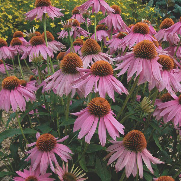 common purple coneflower - Common Purple Garden Flowers