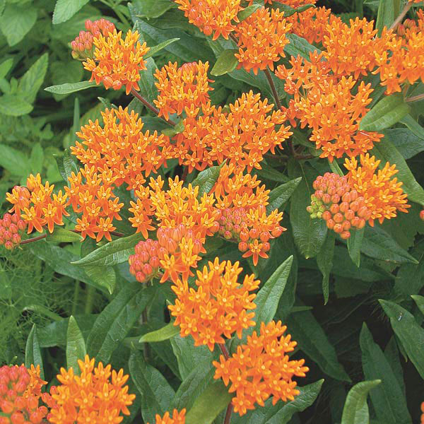 Grow Your Best Fall Garden Vegetables: Butterfly Weed (Asclepias Tuberosa)