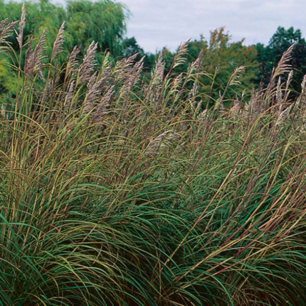 Top 28 hardy grass plants grass hardy pas creekside for Hardy ornamental grasses