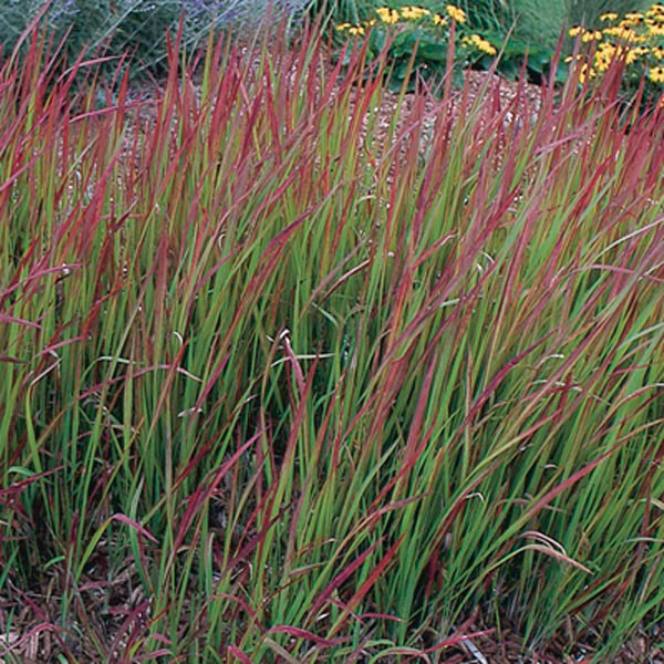 Japanese blood grass 39 red baron 39 imperata cylindrica for Red perennial grass