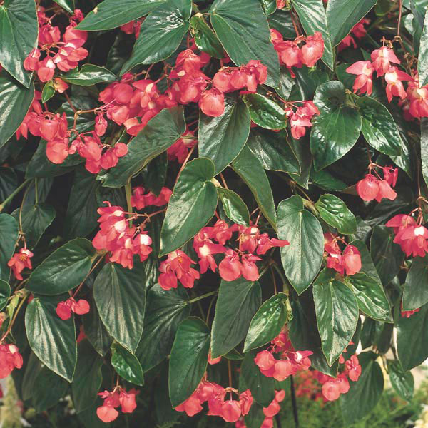 Angel Wing Begonia Dragon Wing® (Begonia coccinea) | My ...