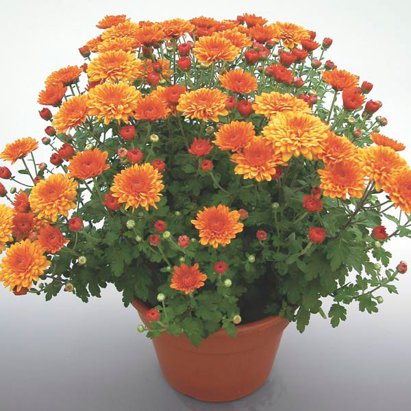 Pot mum chrysanthemum morifolium my garden life for Easy to care for outdoor flowering plants