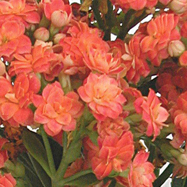 kalanchoe hybrid indoors calandiva kalanchoe hybrid my garden life. Black Bedroom Furniture Sets. Home Design Ideas