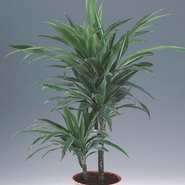 Dracaena House Plant Care  House Plants and Flowers