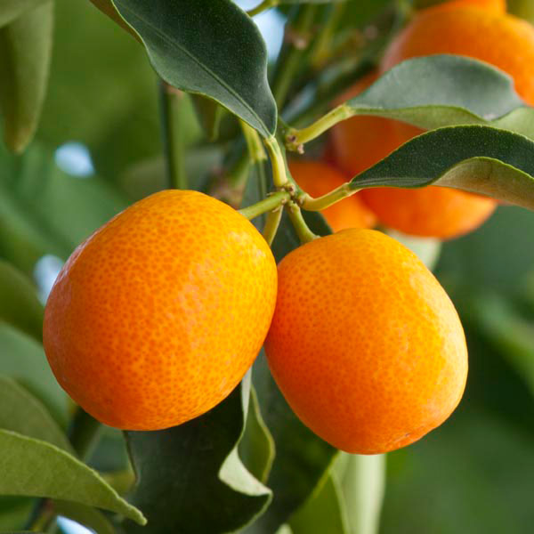 meiwa sweet kumquat fortunella crassifolia my garden life