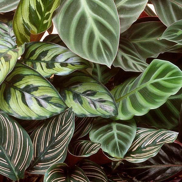 calathea rattlesnake plant prayer plant peacock plant calathea species my garden life. Black Bedroom Furniture Sets. Home Design Ideas