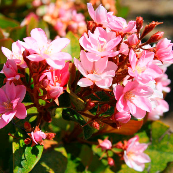 Indian Hawthorn Pink Lady Rhaphiolepis Indica My
