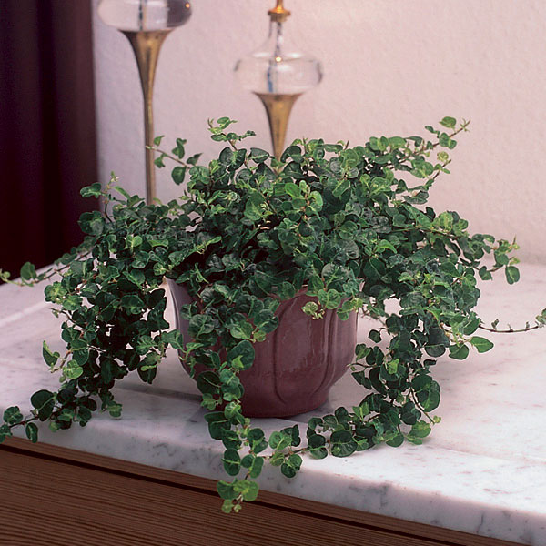 Creeping Fig (Ficus repens) | My Garden Life