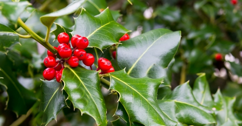 Flower of December: Holly