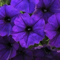 Patented plants my garden life a vigorous new cultivar with great color the compact upright plants produce a lavish display of big single dark purple flowers all season long mightylinksfo