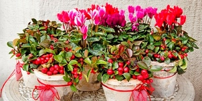 Potted Flowering Cyclamen on Display