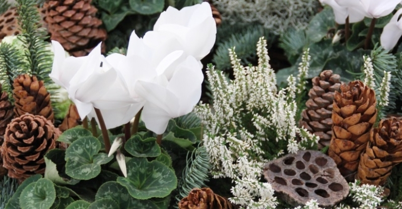 Care Tips for Holiday Cyclamen