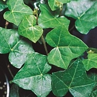 Close Up of English Ivy Leaves
