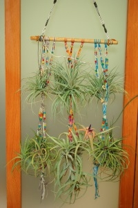 Air Plants (Tillandsia) Hanging from Multi-color Beaded Display