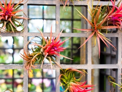 Colorful Air Plants (Tillandsia) Displayed in Grid