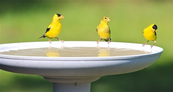Goldfinches at Birdbath