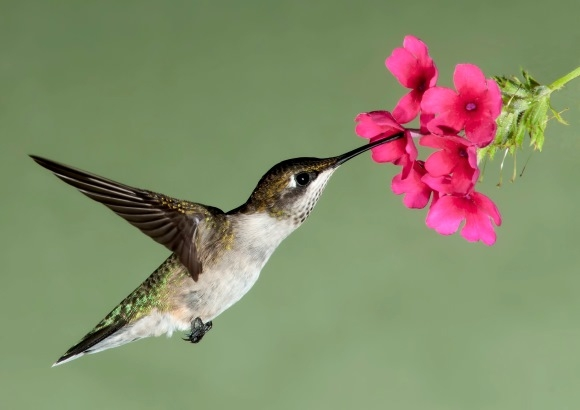 Hummingbird Visiting Pink Flower, Close-up