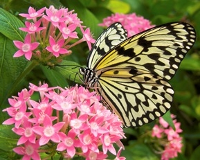 Butterfly on Pink Pentas Flower