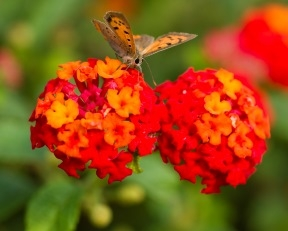 Butterfly on Red-Orange Lantana Flowers