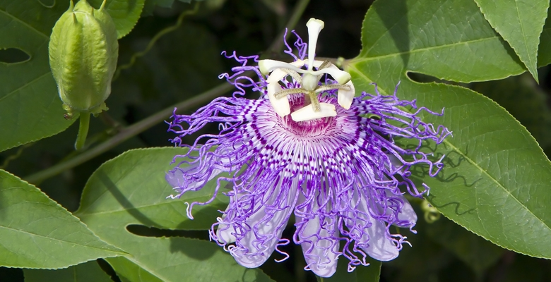 Purple Passion Vine Flower