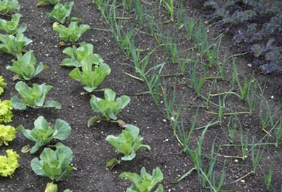Rows of Vegetable Plants