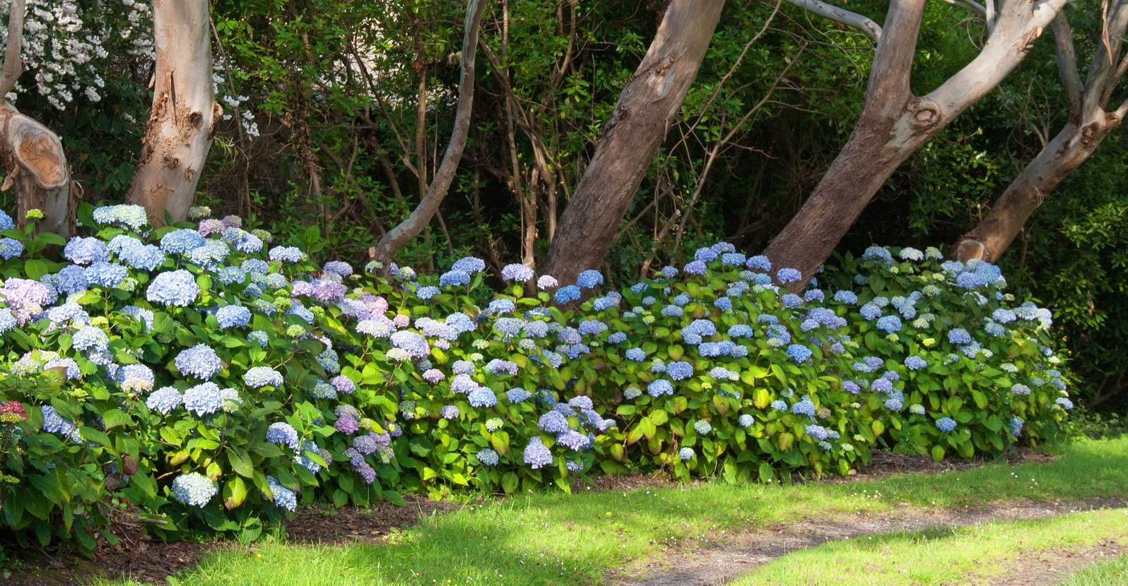 How to Change the Flower Color of Bigleaf Hydrangea