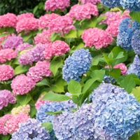 Pink and Blue Hydrangea Macrophylla