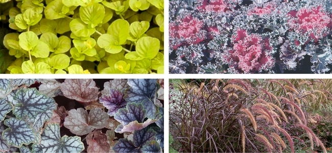 Creeping Jenny, Flowering Kale, Heuchera/Coral Bells, Purple Fountain Grass