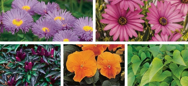 Purple Aster, Purple Osteospermum, Purple Ornamental Pepper, Gold Pansies, Chartreuse Sweet Potato Vine